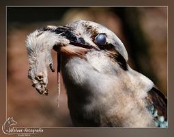 Kookaburra - Vogelfotografie - Dierfotografie - Door: Ellen Reus - Wolves fotografie