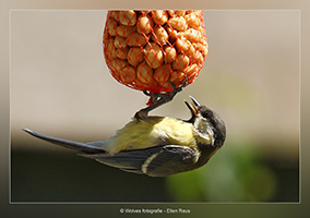 Koolmees - Vogelfotografie - Dierfotografie - Door: Ellen Reus - Wolves fotografie