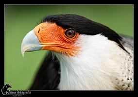 Kuifcaracara - Polyborus Plancus - Vogelfotografie - Dierfotografie - Door: Ellen Reus - Wolves fotografie