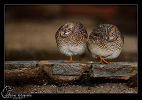 Kwartels - Vogelfotografie - Dierfotografie - Door: Ellen Reus - Wolves fotografie