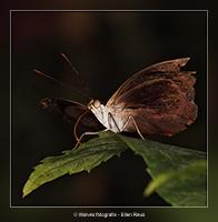 Vlinder op zijn laatste dag - Dierfotografie - Macrofotografie - Door: Ellen Reus - Wolves fotografie