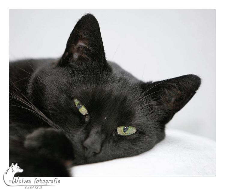 Laika - Europese korthaar - HTK-poes - Kattenfotografie - Dierfotografie - Door: Ellen Reus - Wolves fotografie