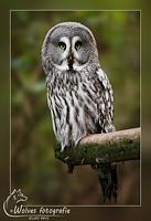 Laplanduil - Vogelfotografie - Dierfotografie - Door: Ellen Reus - Wolves fotografie