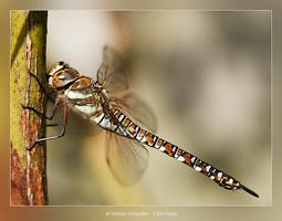 Libelle - Dierfotografie - Macrofotografie - Door: Ellen Reus - Wolves fotografie