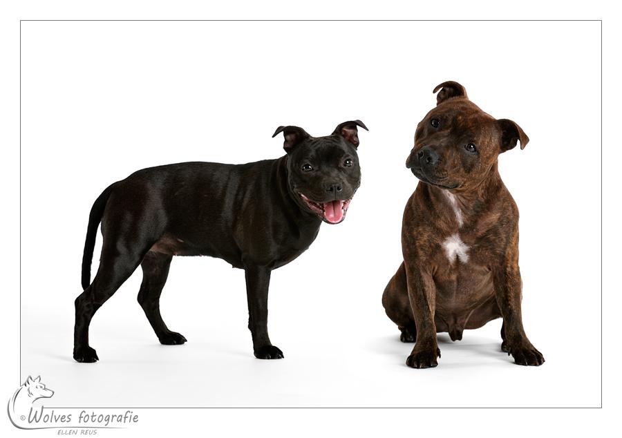 Liloen Stitch - Engelse Stafford - Staffordshire Bull Terrier - Hondenfotografie - Dierfotografie - Door: Ellen Reus - Wolves fotografie