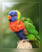 Lori - Vogelfotografie - Dierfotografie - Door: Ellen Reus - Wolves fotografie