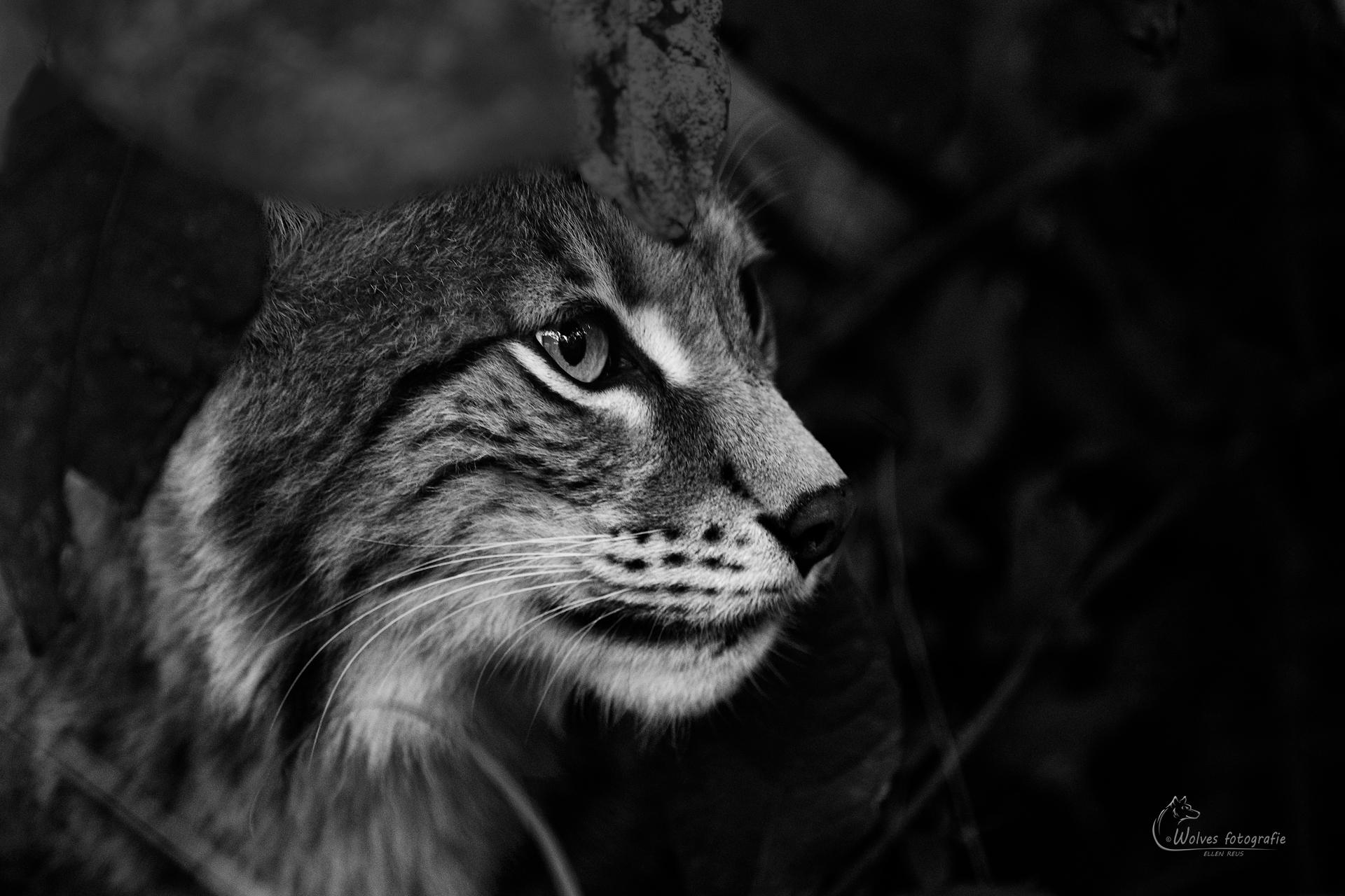 Verscholen in de bosjes - Euraziatische lynx - Lynx Lynx - Dierfotografie - Door: Ellen Reus - Wolves fotografie