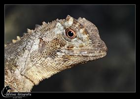 Mopskopleguaan - Uranoscodon-Superciliosus - Reptielen- en Amfibieënfotografie - Dierfotografie - Door: Ellen Reus - Wolves fotografie