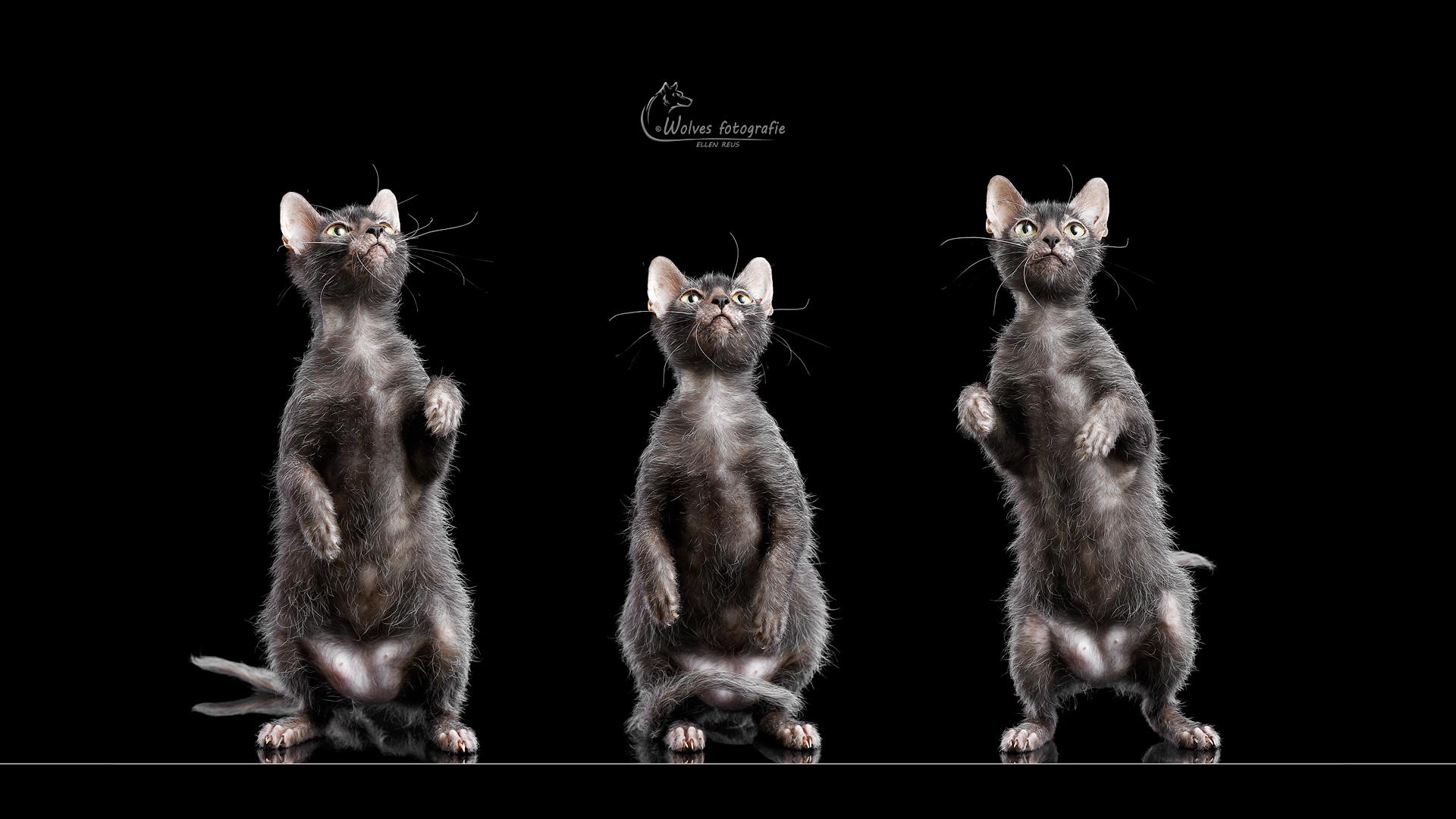 Neorah - Lykoi - Weerwolfkat - Kattenfotografie - Dierfotografie - Door: Ellen Reus - Wolves fotografie