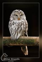 Oeraluil - Strix uralensis - Vogelfotografie - Dierfotografie - Door: Ellen Reus - Wolves fotografie