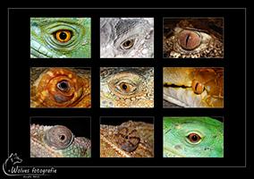 Oog van een: Helmbasilisk (Basiliscus Plumifroms) - Groene Leguaan (Iguana Iguana) - Dwergkaaiman - Rode Baardagaam (Pogona Vitticeps) - Groene Leguaan (Iguana Iguana) - Netpython (Python reticulatus) - Panterkameleon (Furcifer pardalis) - Jemen Kameleon - Fiji Leguaan (Brachylophus fasciatus) - Reptielen- en Amfibieënfotografie - Dierfotografie - Door: Ellen Reus - Wolves fotografie