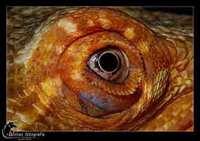 Oog van Bram een rode baardagaam - Pogona Vitticeps - Reptielen- en Amfibieënfotografie - Dierfotografie - Door: Ellen Reus - Wolves fotografie