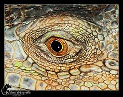 Oog van een groene leguaan - Iguana iguana - Reptielen- en Amfibieënfotografie - Dierfotografie - Door: Ellen Reus - Wolves fotografie