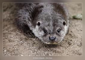 Otter - Dierfotografie - Door: Ellen Reus - Wolves fotografie