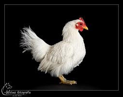 Pepper - kip - Vogelfotografie - Dierfotografie - Door: Ellen Reus - Wolves fotografie