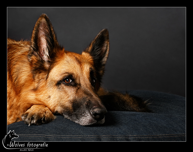 Quinten - Okke Quinten von Haus Jennifer - Duitse Herdershond - bijna 8 jaar oud - Hondenfotografie - Dierfotografie - Door: Ellen Reus - Wolves fotografie