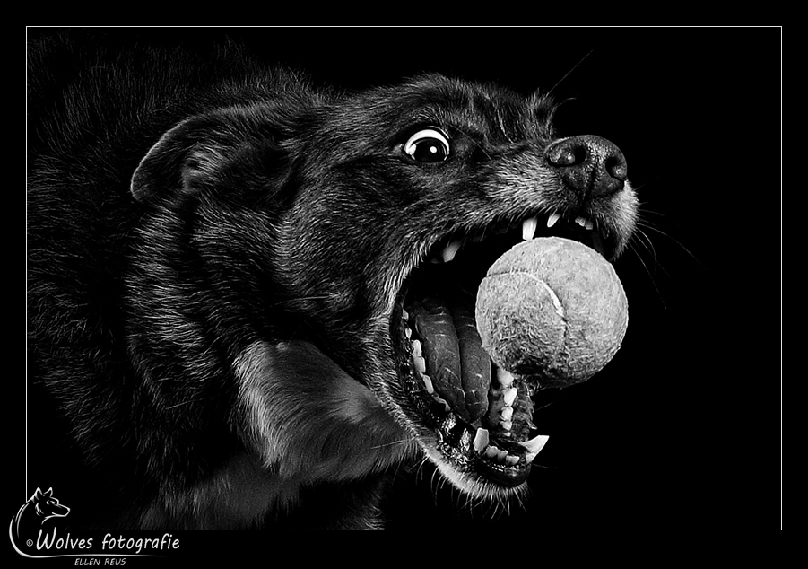 Gotcha! - - Honorable Mention in the 12th annual Black & White Spider Awards in the category Wildlife - professionals - Prada - Border Collie - Hondenfotografie - Dierfotografie - Door: Ellen Reus - Wolves fotografie