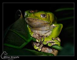 Reuze Apenboomkikker - Giant Waxy Monkey Frog - Reptielen- en Amfibieënfotografie - Dierfotografie - Door: Ellen Reus - Wolves fotografie