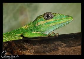 Ridderanolis - Anolis Equestris - Reptielen- en Amfibieënfotografie - Dierfotografie - Door: Ellen Reus - Wolves fotografie