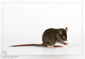 Rattenfotografie