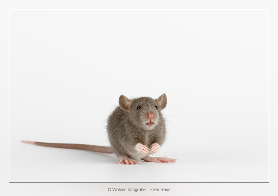 A Young Rat - Nominee in the 8th annual Photography Masters Cup in the category Wildlife - professionals - Dierfotografie - rattenfotografie - Door: Ellen Reus - Wolves fotografie