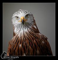 Rode Wouw - Roofvogel - Vogelfotografie - Dierfotografie - Door: Ellen Reus - Wolves fotografie