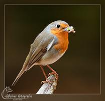 Roodborstje - Vogelfotografie - Dierfotografie - Door: Ellen Reus - Wolves fotografie