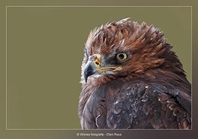 Roofvogel - Vogelfotografie - Dierfotografie - Door: Ellen Reus - Wolves fotografie