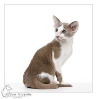 Sem - Oosterse korthaar - 10 weken oud - Kattenfotografie - Dierfotografie - Door: Ellen Reus - Wolves fotografie