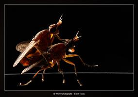 Parende vliegen - Dierfotografie - Macrofotografie - Door: Ellen Reus - Wolves fotografie