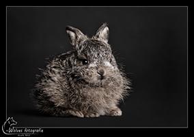 Haasje Sjaakie - 10 dagen oud - haas - (Knaag-) Dierfotografie - Door: Ellen Reus - Wolves fotografie
