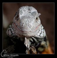 Smile - Groene leguaan - Iguana iguana - Reptielen- en Amfibieënfotografie - Dierfotografie - Door: Ellen Reus - Wolves fotografie