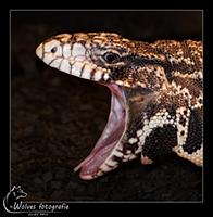 Solomon Mangrovevaraan - Reptielen- en Amfibieënfotografie - Dierfotografie - Door: Ellen Reus - Wolves fotografie