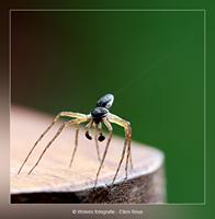 Spin - Dierfotografie - Macrofotografie - Door: Ellen Reus - Wolves fotografie