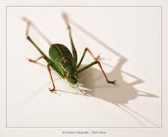 Sprinkhaan - Dierfotografie - Macrofotografie - Door: Ellen Reus - Wolves fotografie