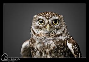 Steenuil - Vogelfotografie - Dierfotografie - Door: Ellen Reus - Wolves fotografie