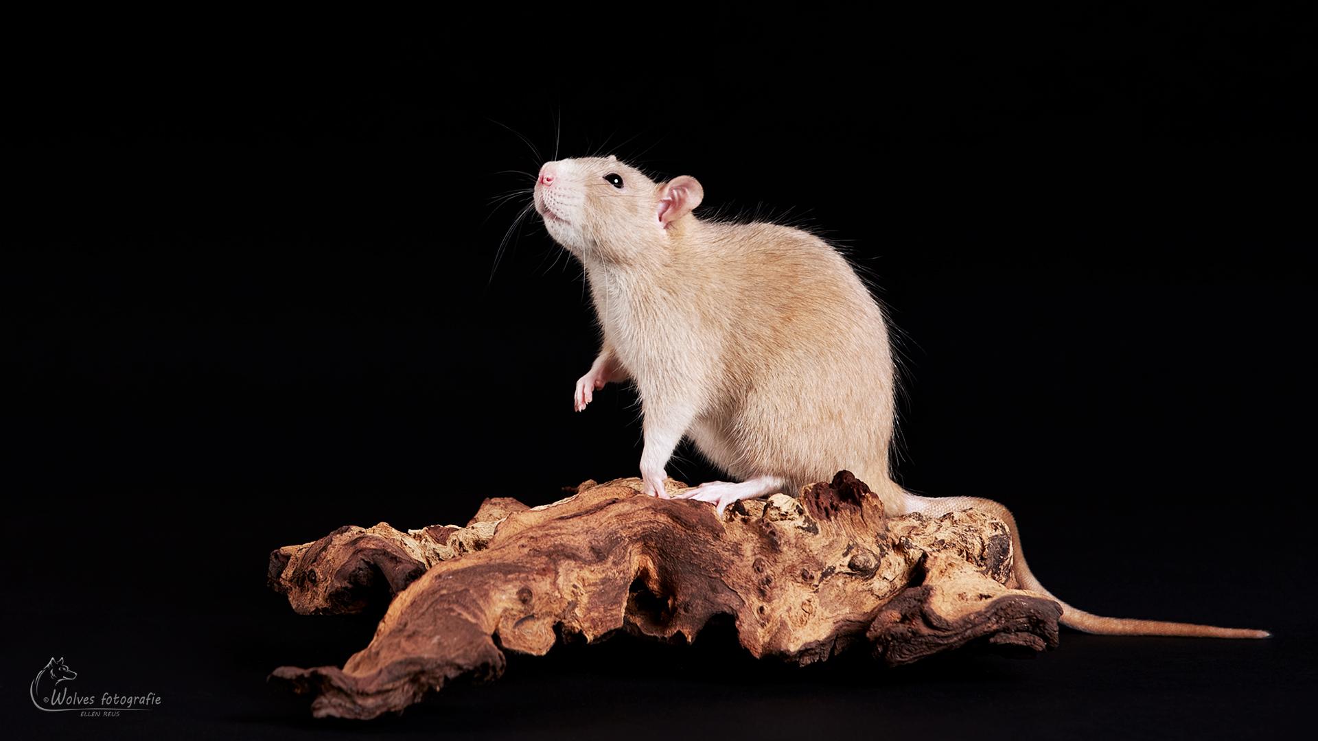 Super Bee - Rat - Rattenfotografie - Dierfotografie - Door: Ellen Reus - Wolves fotografie