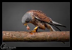 Torenvalk - Vogelfotografie - Dierfotografie - Door: Ellen Reus - Wolves fotografie
