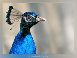 Pauw - Vogelfotografie - Dierfotografie - Door: Ellen Reus - Wolves fotografie