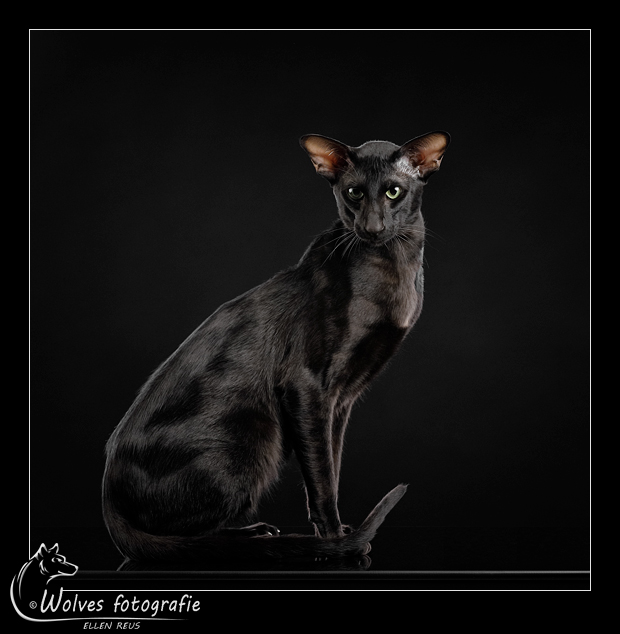 Black on Black 2 - Nominee in the 12th annual Photography Masters Cup in the category Wildlife - professionals - Truffle - Oosterse korthaar - Ebony - Kattenfotografie - Dierfotografie - Door: Ellen Reus - Wolves fotografie