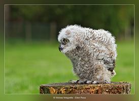 Uilskuiken - Vogelfotografie - Dierfotografie - Door: Ellen Reus - Wolves fotografie