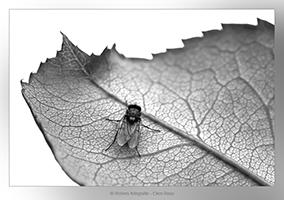 Vlieg op blad - Dierfotografie - Macrofotografie - Door: Ellen Reus - Wolves fotografie