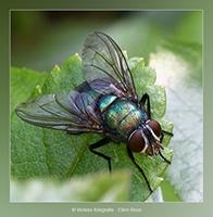 Vlieg - Dierfotografie - Macrofotografie - Door: Ellen Reus - Wolves fotografie