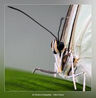Vlinder - Dierfotografie - Macrofotografie - Door: Ellen Reus - Wolves fotografie