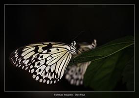 Vlinders - Dierfotografie - Macrofotografie - Door: Ellen Reus - Wolves fotografie