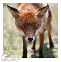Rode vos - Vulpes vulpes - dierfotografie - Door: Ellen Reus - Wolves fotografie