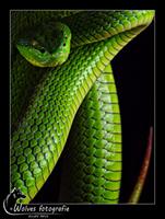 Witlip Bamboeadder - Trimeresurus albolabris - Reptielen- en Amfibieënfotografie - Dierfotografie - Door: Ellen Reus - Wolves fotografie