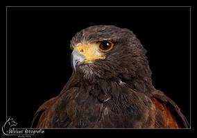Woestijnbuizerd - Roofvogel - Vogelfotografie - Dierfotografie - Door: Ellen Reus - Wolves fotografie
