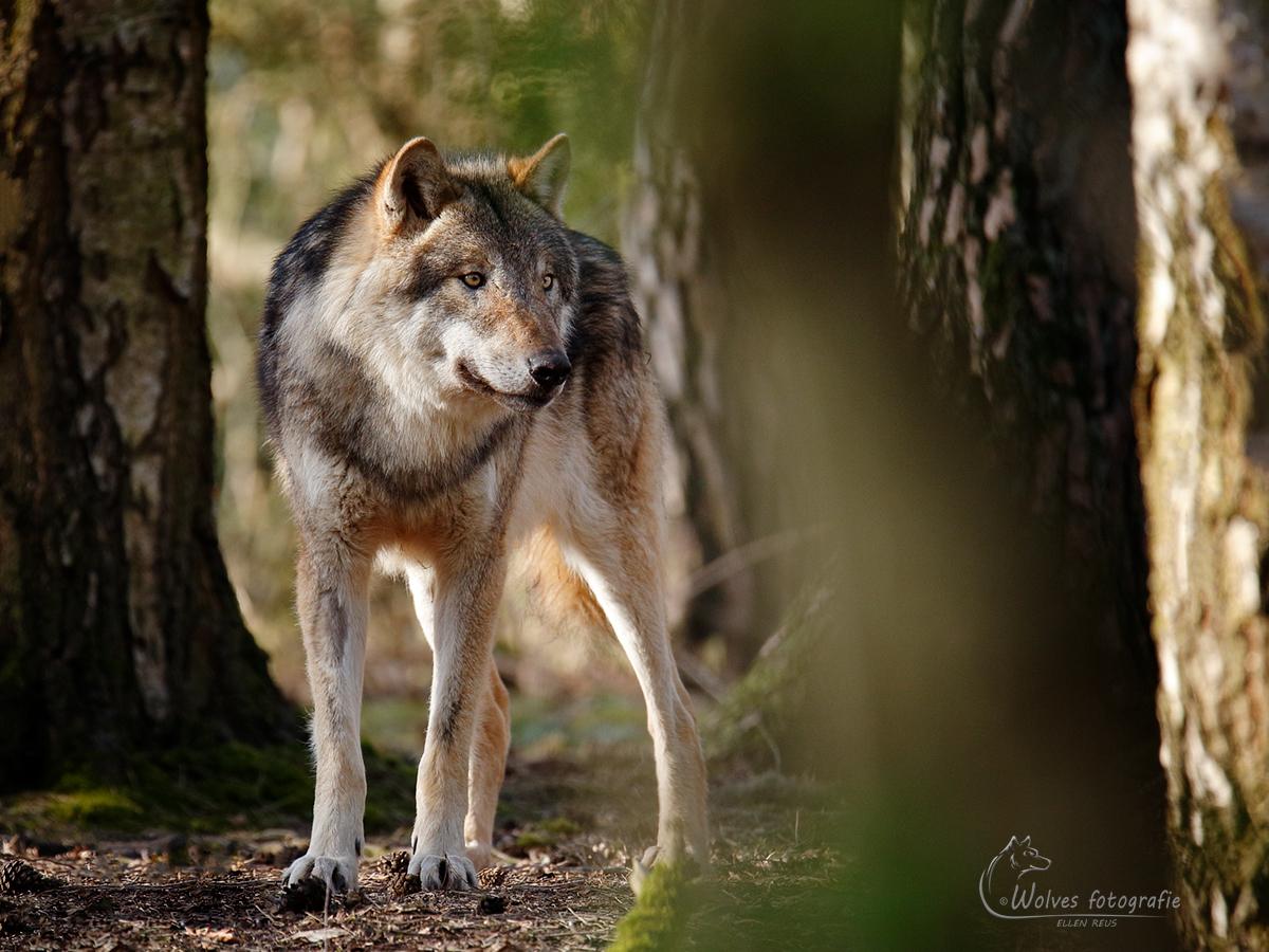 Wolf - Canis Lupus - Wolvenfotografie - Dierfotografie - Door: Ellen Reus - Wolves fotografie
