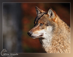 Europese wolf - Canis Lupus Lupus - Wolvenfotografie - Dierfotografie - Door: Ellen Reus - Wolves fotografie